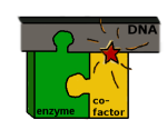 dnaenzymecofactor