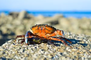 Image of a crab