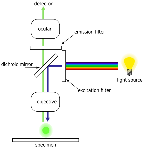 Diagram of a fluorescence microscope design.