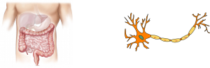 image of digestive tract and an image of a neuron